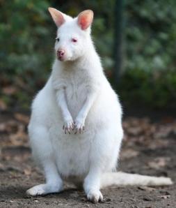 Cangur albí